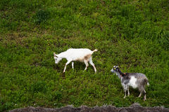 Domestic goats on the hills Stock Images