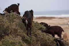 Domestic goats nibble the leaves of the argan tree, Morocco. The  Domestic goats nibble the leaves of the argan tree, Morocco Stock Photo