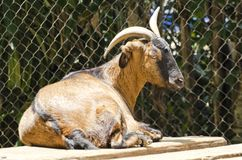 Domestic Goats. Stock Images