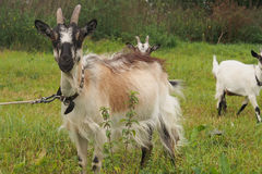 Domestic goats outdoor in summer Stock Images