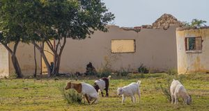 Domestic goats outside a ruined building