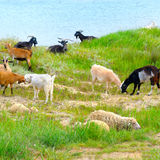 Domestic goats  on pasture Stock Photo