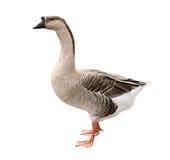 Domestic Goose Stock Photo