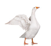 Domestic goose. White domestic goose  on white background Stock Photography