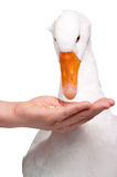 Domestic goose Stock Photo