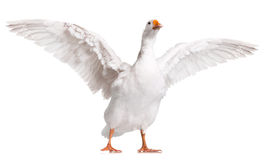 Free Domestic Goose Stock Image - 28581781