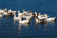Free Domestic Goose Royalty Free Stock Photos - 3625638