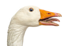 Domestic goose, Anser anser domesticus, clucking, isolated. On white stock photography