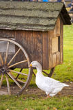 Domestic goose / Anser anser domesticus Stock Image
