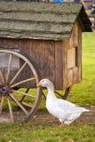 Domestic goose / Anser anser domesticus. Domestic geese / Anser anser domesticus or Anser cygnoides stock image