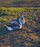 Domestic goose, Anser anser domesticus on the grass. Anser anser domesticus on the grass royalty free stock photography