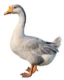 Domestic goose, Anser anser domesticus, isolated. On white background royalty free stock images