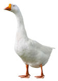Domestic goose, Anser anser domesticus, isolated. On white background stock photo