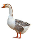 Domestic goose, Anser anser domesticus, isolated on white background. Domestic goose, Anser anser domesticus, isolated on white royalty free stock image