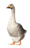 Domestic goose, Anser anser domesticus, isolated on white background Stock Image
