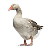Domestic goose, Anser anser domesticus, standing and looking down. Isolated on white Royalty Free Stock Photography