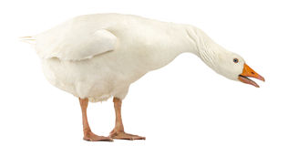 Domestic goose, Anser anser domesticus, standing and looking down Royalty Free Stock Image