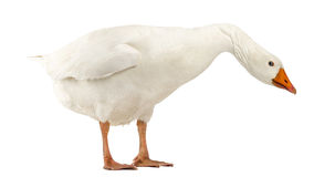 Domestic goose, Anser anser domesticus, standing and looking down Stock Photo