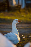 Domestic goose, Anser anser domesticus. White stock photography