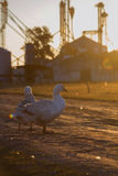Domestic goose, Anser anser domesticus. White stock photo