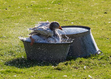 Domestic goose in a basin of water on  farmyard Stock Photo