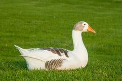 Domestic goose basking Stock Photos