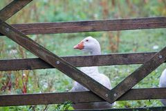 Domestic Goose behind a gate royalty free stock images