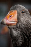 Domestic goose Royalty Free Stock Image