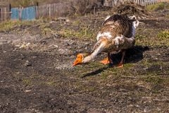 Domestic goose defends hiss, hissing head down stock photos