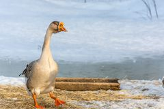 Domestic Goose at Dusk on a Winter Day. royalty free stock image
