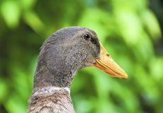 Goose head portrait stock photo