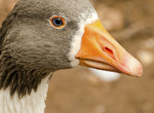 Close up image of a goose head. royalty free stock image