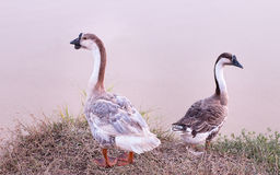 Domestic Goose. Farm Domestic Goose in Thailand Royalty Free Stock Photo
