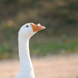 Domestic Goose with Feather in Its Nostril Royalty Free Stock Photo