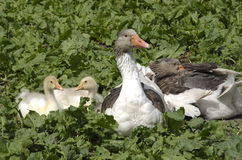 Domestic goose with fledglings Royalty Free Stock Photo