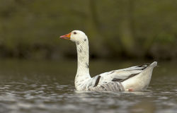 Domestic goose Royalty Free Stock Photo