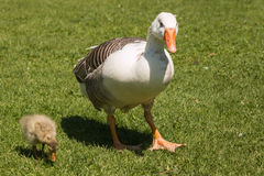 Domestic goose with gosling Royalty Free Stock Image