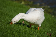 Domestic goose grazing on fresh grass Royalty Free Stock Images