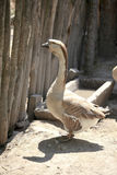 Domestic goose. Domestic grey goose looking at camera Stock Images