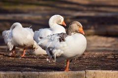 Domestic Goose. Greylag Goose Anser anser stock photography