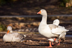Domestic Goose. Greylag Goose Anser anser royalty free stock photography