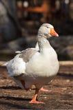 Domestic Goose. Greylag Goose Anser anser royalty free stock image