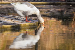 Domestic Goose. Greylag Goose Anser anser Stock Photos