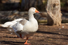 Domestic Goose. Greylag Goose Anser anser royalty free stock photo