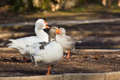 Domestic Goose. Greylag Goose Anser anser royalty free stock images