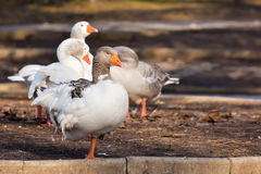 Domestic Goose. Greylag Goose Anser anser Royalty Free Stock Photos