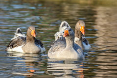 Domestic Goose, Greylag Goose Anser anser. Domestic geese on the lake Royalty Free Stock Images