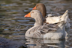 Domestic Goose, Greylag Goose Anser anser. Domestic geese on the lake Royalty Free Stock Photos
