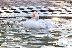 Domestic Goose, Greylag Goose Anser anser. Domestic goose on the lake stock images