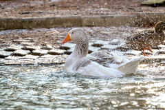 Domestic Goose, Greylag Goose Anser anser. Domestic goose on the lake stock photography
